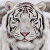 Ira_Tigra