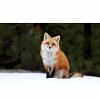 Fox_y