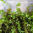 Отдается в дар водное растение бакопа