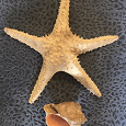Отдается в дар Ракушка и морская звезда