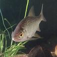 Отдается в дар Ручная рыбка в аквариум!