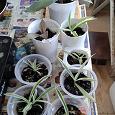 Отдается в дар Комнатные растения: Хлорофитум, Гибискус, Монстера