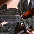 Отдается в дар орхидея лудизия