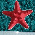 Отдается в дар красная морская звезда