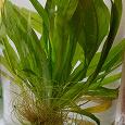 Отдается в дар Аквариумное растение — Эхинодорус