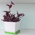 Отдается в дар Сеткреазия пурпурная