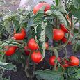 Отдается в дар Семена суперских помидоров!