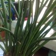 Отдается в дар Домашнее растение Сансивьерия цилиндрика