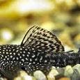 Отдается в дар Рыбки анцитрусы
