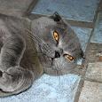 Отдается в дар Шотландская вислоухая кошка