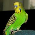 Отдается в дар Волнистый попугай в дар с клеткой
