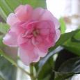 Отдается в дар Розовый махровый бальзамин черенки укорененные и нет