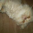Отдается в дар Прекрасную персидскую кошечку