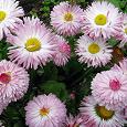 Отдается в дар Садовый цветок «Маргаритка»