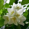 Отдается в дар чай из жасмина цветов