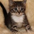 Отдается в дар Котята от домашней кошки(дар от соседки)