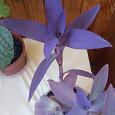 Отдается в дар Два комнатных растения: сеткреазия и китайская роза (гибискус)