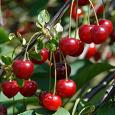 Отдается в дар Саженцы вишни и чайной розы