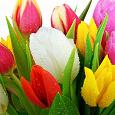 Отдается в дар Луковички (детки) тюльпанов