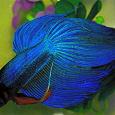 Отдается в дар рыбок петушков синих и красных