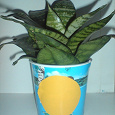 Отдается в дар Комнатное растение, возможно тёщин язык