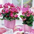 Отдается в дар отростки каланхоэ ярко-розовый