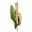 Отдается в дар Armoracia rusticana