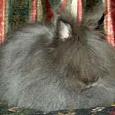 Отдается в дар Кролик карликовый ангор