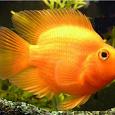 Отдается в дар аквариумная рыбка «попугай»