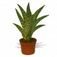 Отдается в дар цветок — агава (суккулент)