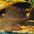 Отдается в дар Аквариумная рыбка — сомик
