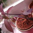 Отдается в дар комнатное растение — сеткреазия бледная