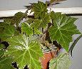 Отдается в дар Бегония воротничковая-комнатное растение