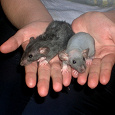 Отдается в дар Крысята