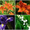 Отдается в дар цветы для дачи: ирисы, лилейник, ландыш майский