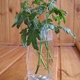Отдается в дар Черенки хризантемы комнатной белой + листики фиалки