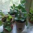 Отдается в дар комнатные растения (пеперомия)