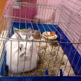 Отдается в дар декоративный пушистый кролик