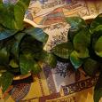 Отдается в дар Растение Сансевиерия или сансевьера