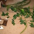 Отдается в дар Кофейное дерево, сорт «Робуста»