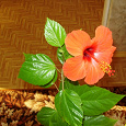 Отдается в дар Дарю отростки гибискуса (китайская роза)