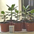 Отдается в дар Денежное дерево(Crassula arborescens (Mill.) Willd.