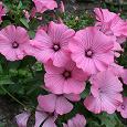 Отдается в дар Семена лаватеры розовой