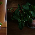 Отдается в дар Комнатное растение (пеперомия)