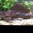 Отдается в дар сомы Парчовый птеригоплихт (Pterygoplichthys gibbiceps)