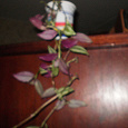 Отдается в дар Традесканция с пестрыми листьями