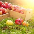 Отдается в дар Яблоки летние.