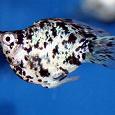 Отдается в дар Рыбки аквариумные