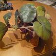 Отдается в дар Растение «Бегония»