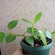 Отдается в дар 2 комнатных растения — пеперомии